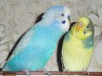 Вы решили купить волнистого попугайчика?